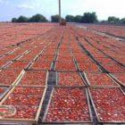distesa pomodori secchi