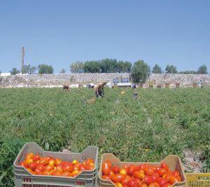 coltivazione pomodori agriblea