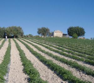 produzione coltivazione pomodori agriblea