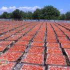 essiccazione pomodori bio