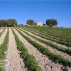 coltivazione dei pomodori biologici siciliani