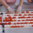 lavorazione manuale dei pomodori