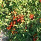 pomodori biologici siciliani