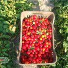 raccolta dei pomodori biologici