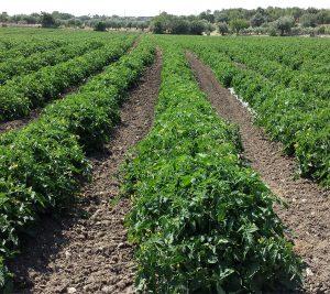 coltivazione1